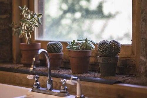 Idei pentru plantarea unui cactus ținut în bucătărie