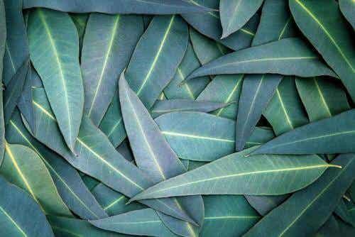 5 remedii cu eucalipt pentru problemele respiratorii