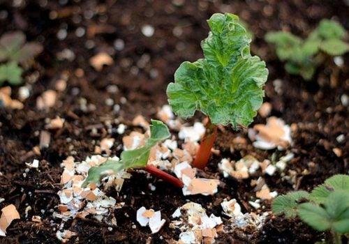 Întrebuințări ale cojilor de ouă ca îngrășământ organic