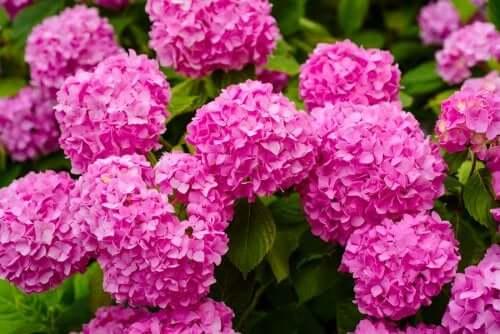Hortensiile sunt plante periculoase