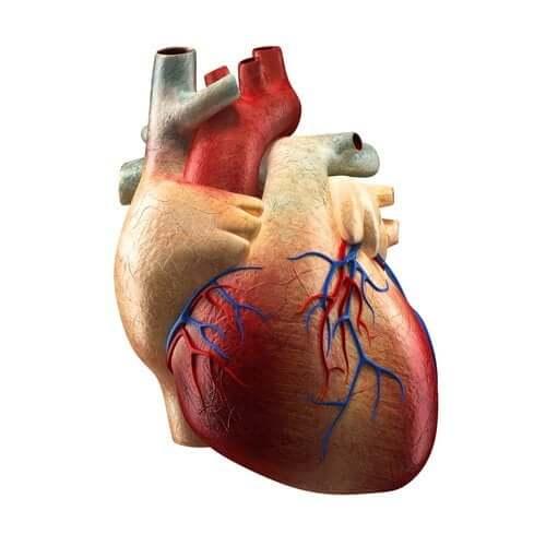 Alcătuirea inimii și funcțiile fiecărei părți