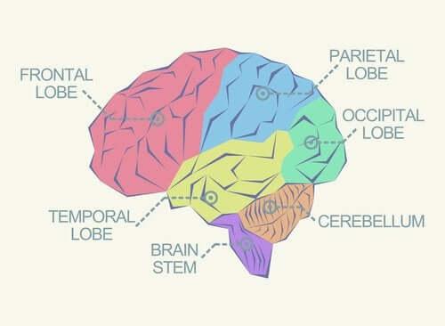 Ce sunt lobii cerebrali și ce funcții au?