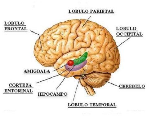 Ce sunt lobii cerebrali