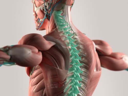 Nervii coloanei vertebrale cervicale
