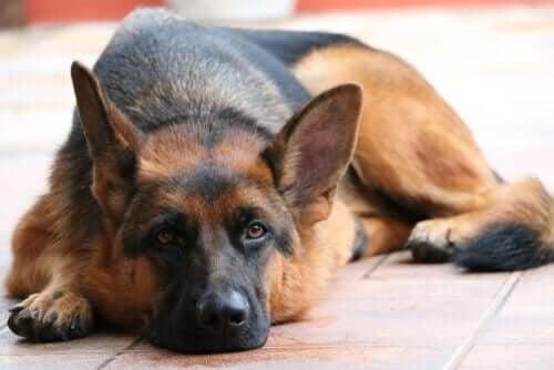 Câine testat pozitiv pentru coronavirus