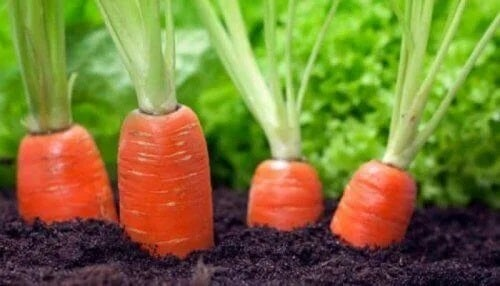 Beneficiile morcovilor plantați în grădina proprie