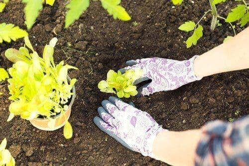 Grădinar transplantând florile din sol în ghiveci