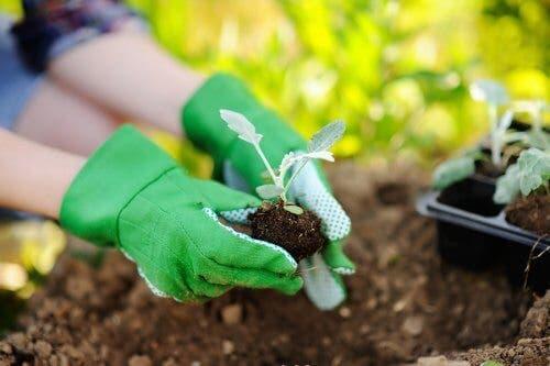 Replantarea corectă a plantelor în 4 pași