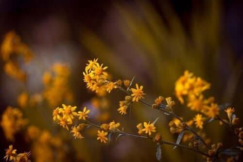 Flori de arnică în sălbăticie