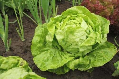 Soiuri de salată verde și moduri de cultivare