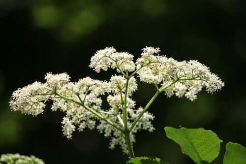 Flori de soc pentru ameliorarea simptomelor nevralgiei de trigemen
