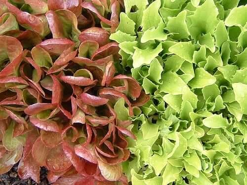 Soiuri de salată verde în diferite culori