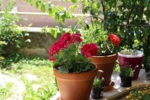 Flori de vară pentru grădină: 6 opțiuni