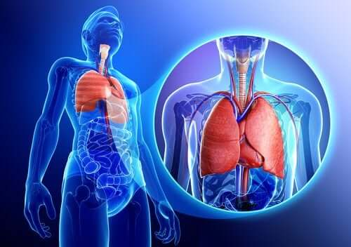 Plămâni în corpul uman