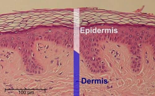 Structura pielii umane