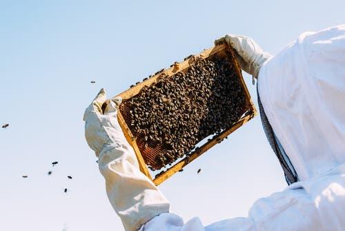 Apicultor controlând albinele dintr-un stup