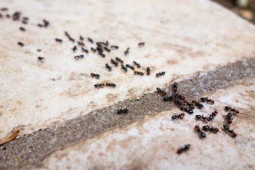 Furnicile invadând casa