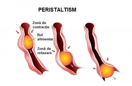 Procesul de peristaltism