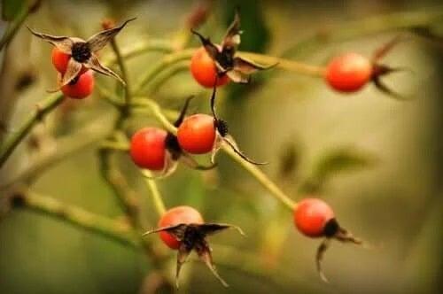 Plantă care face măceșe