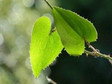 Riscuri, efecte și beneficii ale plantei Sarsaparilla