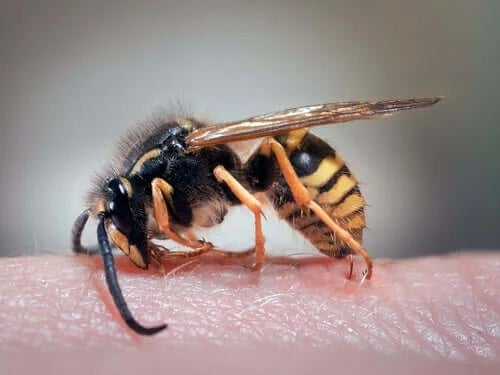 Remedii pentru înțepăturile de viespe