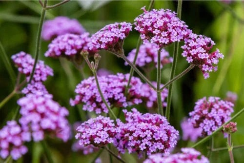 Flori de verbenă