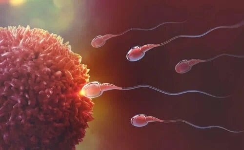 Spermatozoizi și ovul