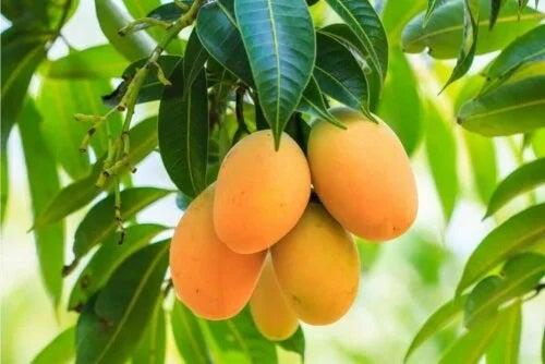 Fructe de mango în copac