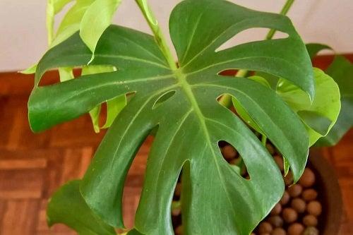 Plantă de apartament