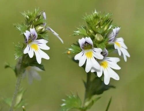 Plante utile pentru a trata urciorul