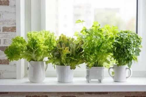 Cultivarea plantelor aromatice acasă