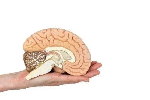 Mână care ține un creier uman