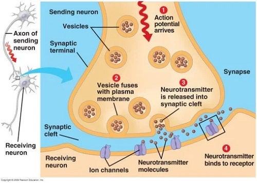 Sinapsă nervoasă