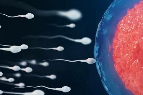 Spermatozoizi în drum către ovul