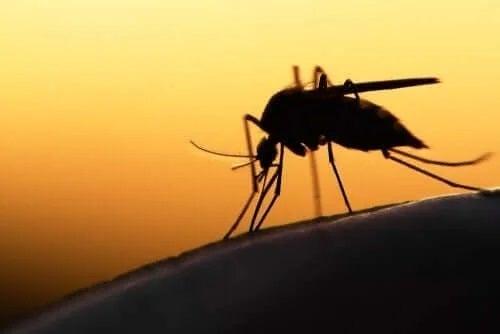 Țânțar care produce malarie