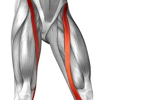 Desen cu mușchiul sartorius