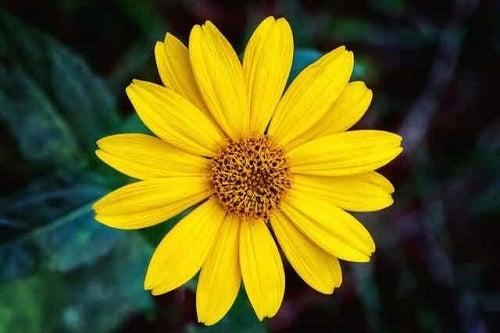 Floarea de arnică