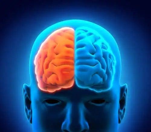 Părțile creierului văzute din față