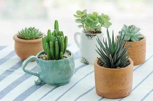 Plante suculente în ghivece