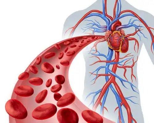 Sistemul circulator uman