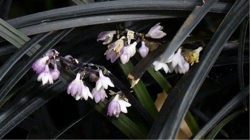Flori de plante negre