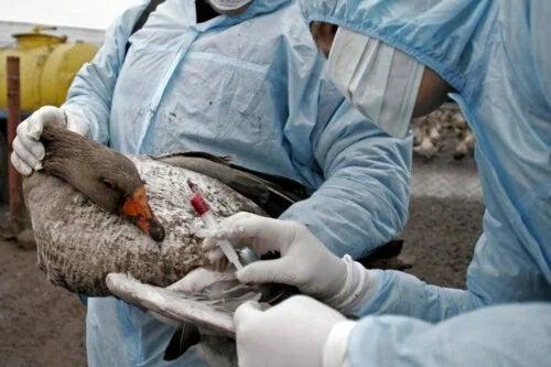 Simptomele și tratamentul gripei aviare