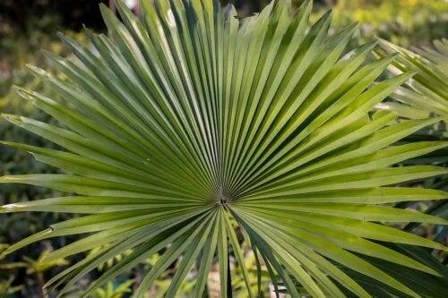 Ce este și care sunt beneficiile plantei saw palmetto?