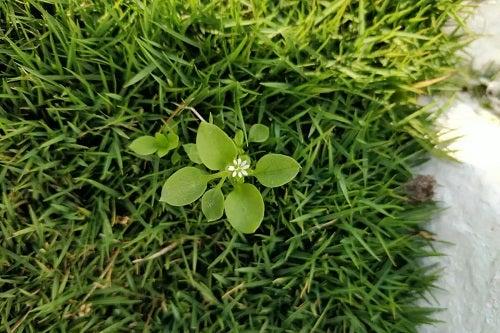 Plantă de răcovină