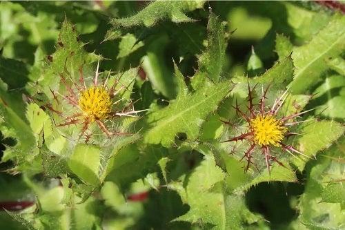 Plantă de schinel