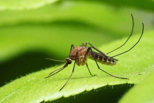Principalele boli transmise de țânțari