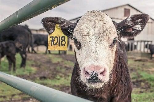 Vacă la fermă
