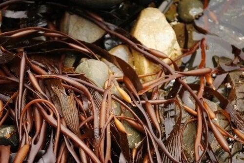 Algele cochayuyo: substanțe nutritive, beneficii și mod de preparare