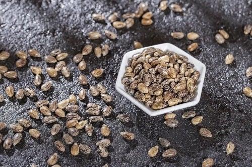Boabe din care se extrage uleiul de ricin negru jamaican