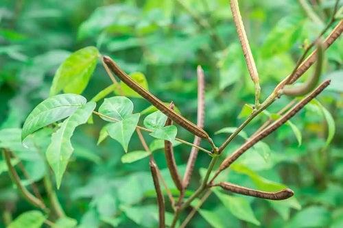 Plantă de Senna occidentalis